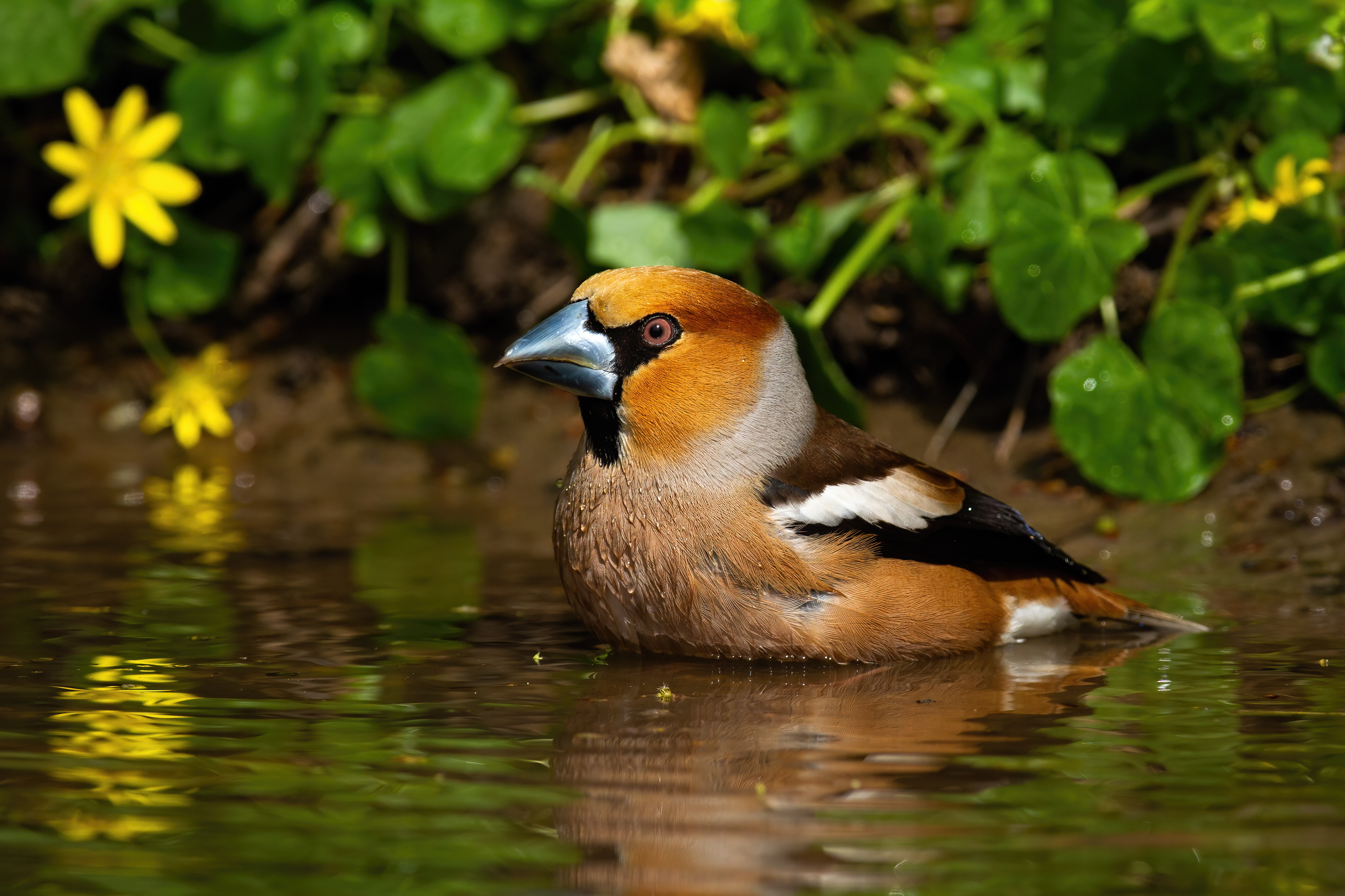 male-hawfinch-standing-in-lake-and-cleaning-feathe-7ZHQBW8